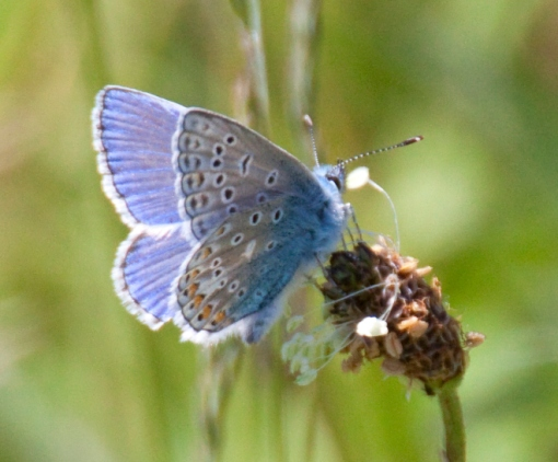 blue_butterfly_2_3589711797-2